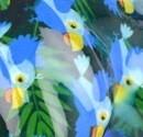 bleu - perruches